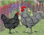 Marans Chickens