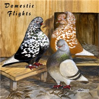 Domestic Flight Pigeons