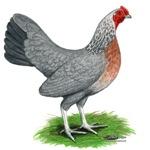 Blue Gold DW Hen