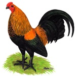 Brown Red OE Cock