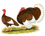 Bourbon Red Turkeys