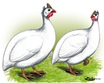 White Guineas