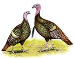Turkey Tom and Hen