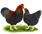 BLR Wyandotte Chickens