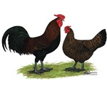English Redcap Chickens