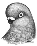 Berliner Shortface Pigeon