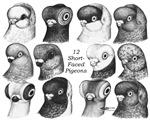 12 Shortface Pigeons
