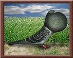 Old German Cropper Pigeon