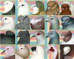 Twenty Pigeon Heads
