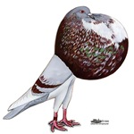Champion Cropper Pigeon