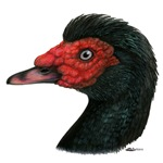 Muscovy Duck Head Black