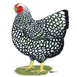 Wyandotte Silver Hen