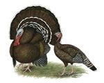 Turkey Standard Bronze
