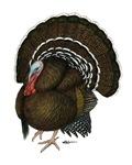 Turkey Standard Bronze Tom