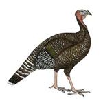 Turkey Standard Bronze Hen
