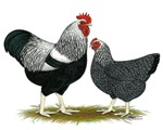 Plymouth Rock Penciled Chickens