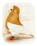 Komorner Pigeon Yellow