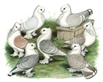 Classic Frill Pigeons