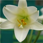 Easter Lily 2
