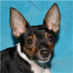Toy Fox Terrier - Baby Blue