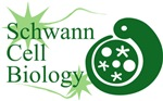 Schwann Cell Biology