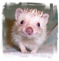 Perdita the Hedgehog