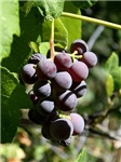 Drinkable Grapes