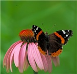 Butterfly on Cornflower