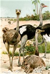 Ostriches by Kuhnert