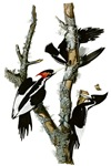 Ivory Billed Woodpeckers