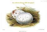Aquila Audax Egg