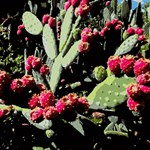 Prickly Pear Cactus Red Fruit