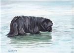 Newfoundland in water