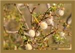 Desert Shrub Creosote Seed Pods