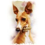Italian Greyhound Beautiful Girl