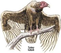 Turkey Vulture Bird