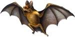 Vampire Bat