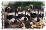 3 Raccoons