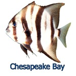 Chesapeake Bay Spadefish