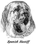 Mastin Espanol - Spanish Mastiff