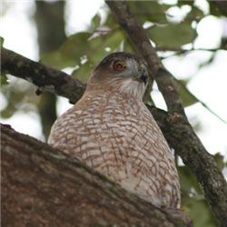 Hawk 1