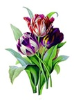 Purple and Red Tulips by Redoute