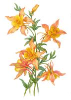 Yellow Ginger Lilies