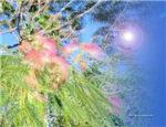 Serenity Silk Tree