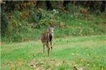 Buck Looking Back
