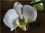 .white phalenopsis. II
