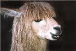Ringo the Alpaca