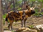 African Wild Dog 1932
