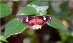 Sierra Red Butterfly
