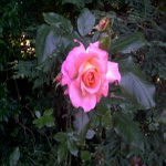 Rose in the Redwoods